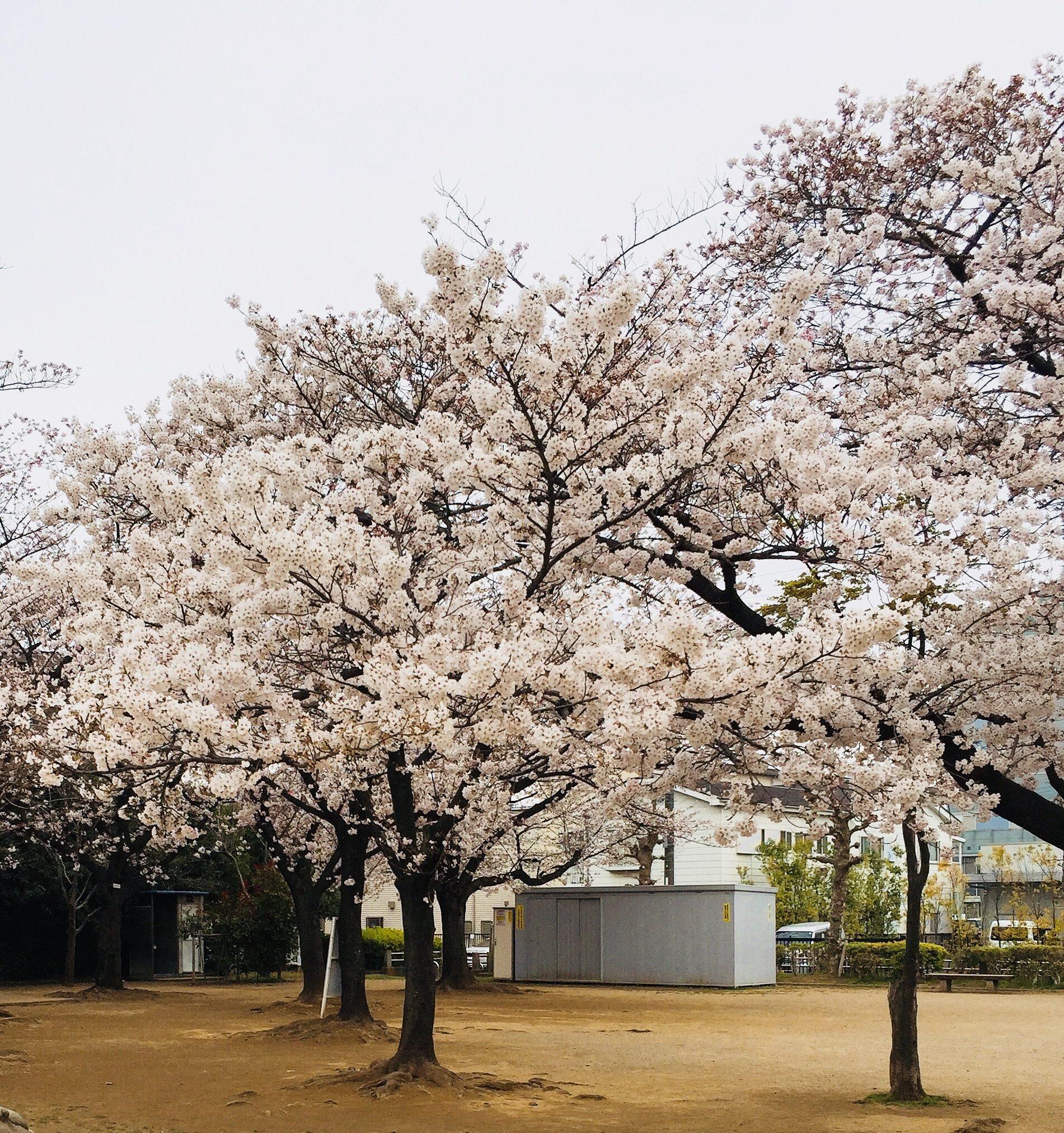 【鳩ヶ谷お花見スポット】桜の名所6選!